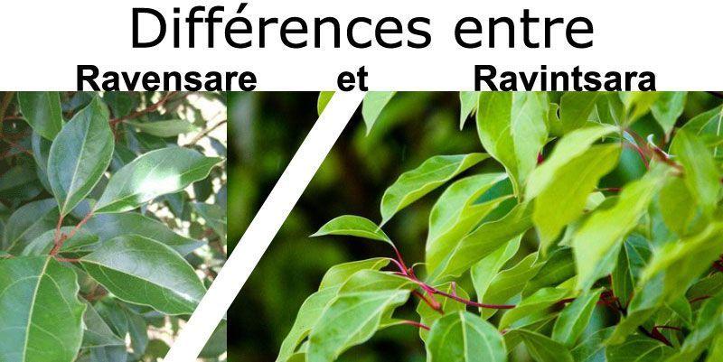 Diff rences entre ravensare et ravintsara penntybio - Difference entre lasure et vernis ...