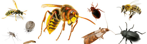 Par insecte
