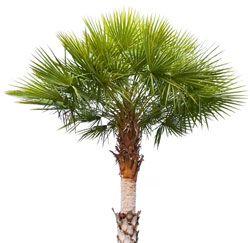 La cire de Carnauba est extraite de l'arbre du même nom
