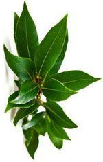 Ravintsara - Cinnamomum camphora