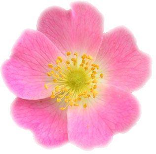 fleur de rose musquée