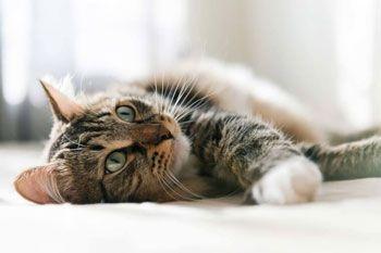 Le chat et les huiles essentielles