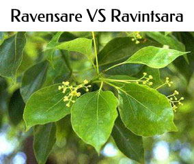 Ravensare et Ravintsara, 2 huiles essentielles différentes