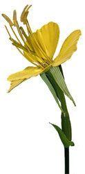 Fleur d'Onagre