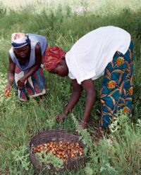 Récolte de la graine de karité