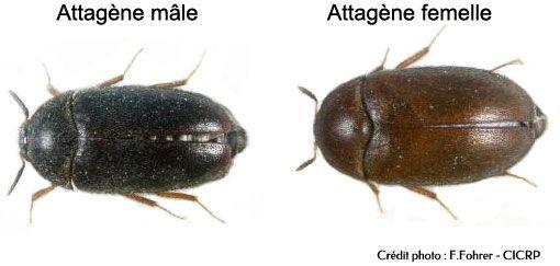 Différence entre l'attagène mâle et l'attagène femelle