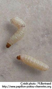 larves de mite alimentaire