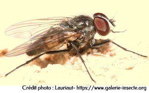 la petite mouche domestique - Fannia canicularis