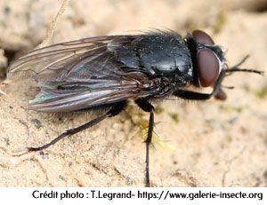 La mouche des greniers - Pollenia amentaria