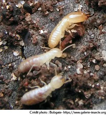 Termite - Reticulitermes lucifugus