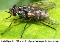 la mouche des étables - Stomoxys calcitrans