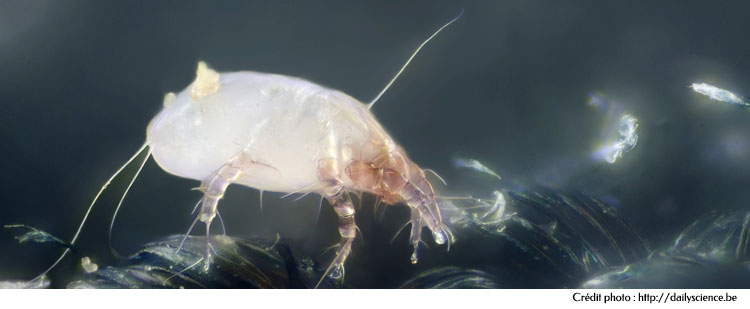 Acarien des lits - Dermatophagoides pteronyssinus