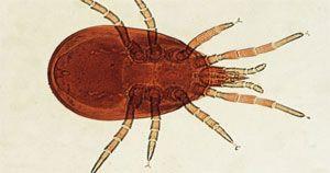 Acarien des maisons - Glycyphagus domesticus