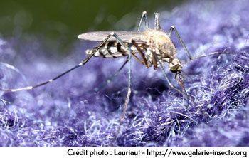 Le moustique aedes
