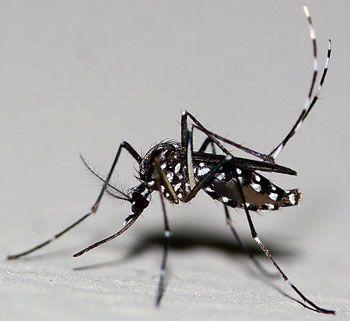 Le moustique tigre Aedes albopictus - Dengue, Chikungunya, Zika
