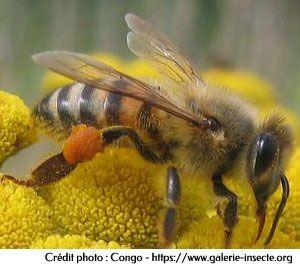 l'abeille, Apis mellifica