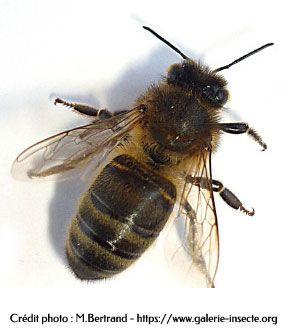 l'abeille - vue de dessus