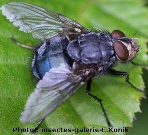 la mouche bleue Calliphora vicina