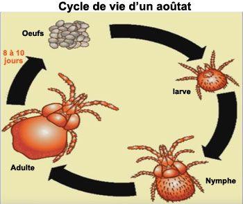 Le cycle de vie de l'aoûtat