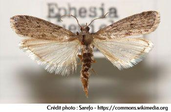 La mite alimentaire - Ephestia kuehniella