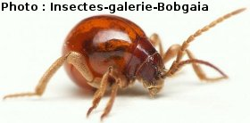 le ptine, Gibbium psylloides