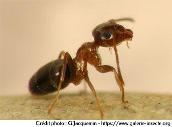 La fourmi des maisons - Lasius brunneus
