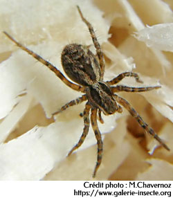 L'araignée : Lycosa narbonensis