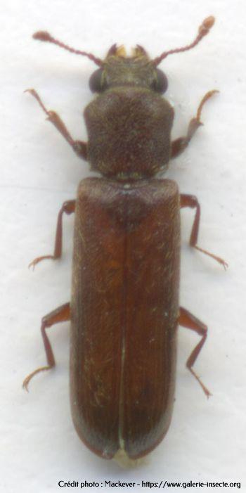 le lycte brun - Lyctus brunneus