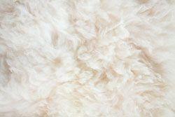 La mite des vêtements et la laine de mouton