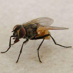 la mouche domestique - Musca domestica
