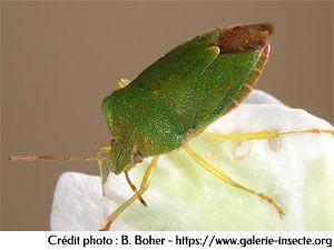 la punaise verte des bois - Palomena prasina