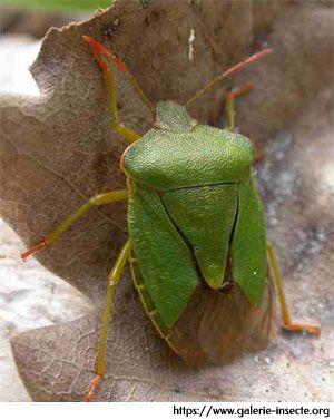 la punaise des bois - Palomena prasina