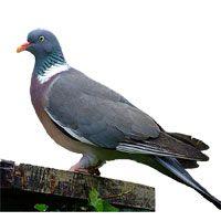 le pou rouge attaque le pigeon