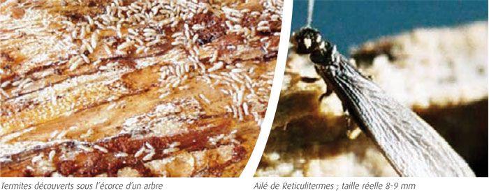 Termites découverts sous l'écorce d'un arbre