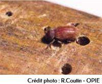 Les larves de vrillette des bois constituent les hôtes les plus fréquentes des sclérodermes
