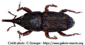 la calandre du blé - Sitophilus granarius