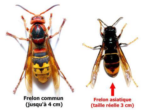 Différence entre le frelon commun et le frelon asiatique