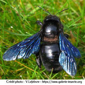 l'abeille charpentière, Xylocopa violacea