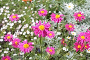 fleur de chrysantheme - Tanacetum cinerariifolium