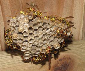 Destruction de nids de guêpes dans la nature. Test du 4J