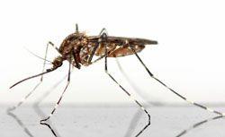 Le géraniol, efficace sur les insectes