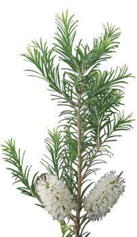 Le cajeput - Melaleuca Leucadendron