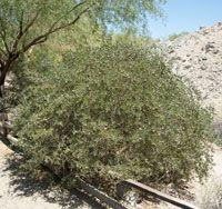 Arbuste Jojoba, simmondsia chinensis