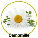 Zoom sur la Camomille