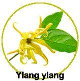 Zoom sur l'ylang ylang