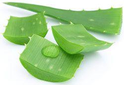 Aloe Vera barbadensis natif