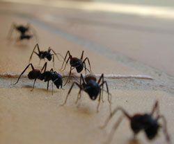 Huile anti-fourmi contre les fourmis