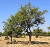 Arganier, Argania spinosa