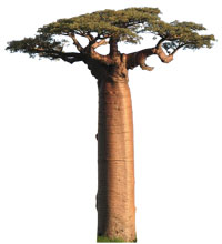Baobab, Adansonia grandidieri