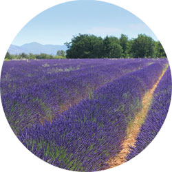Champ de lavandin en Provence
